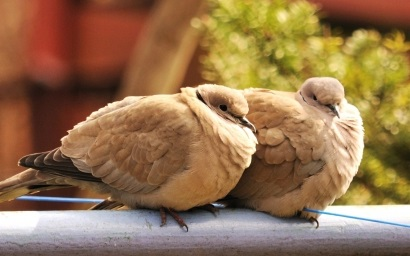 lovebirds 1111